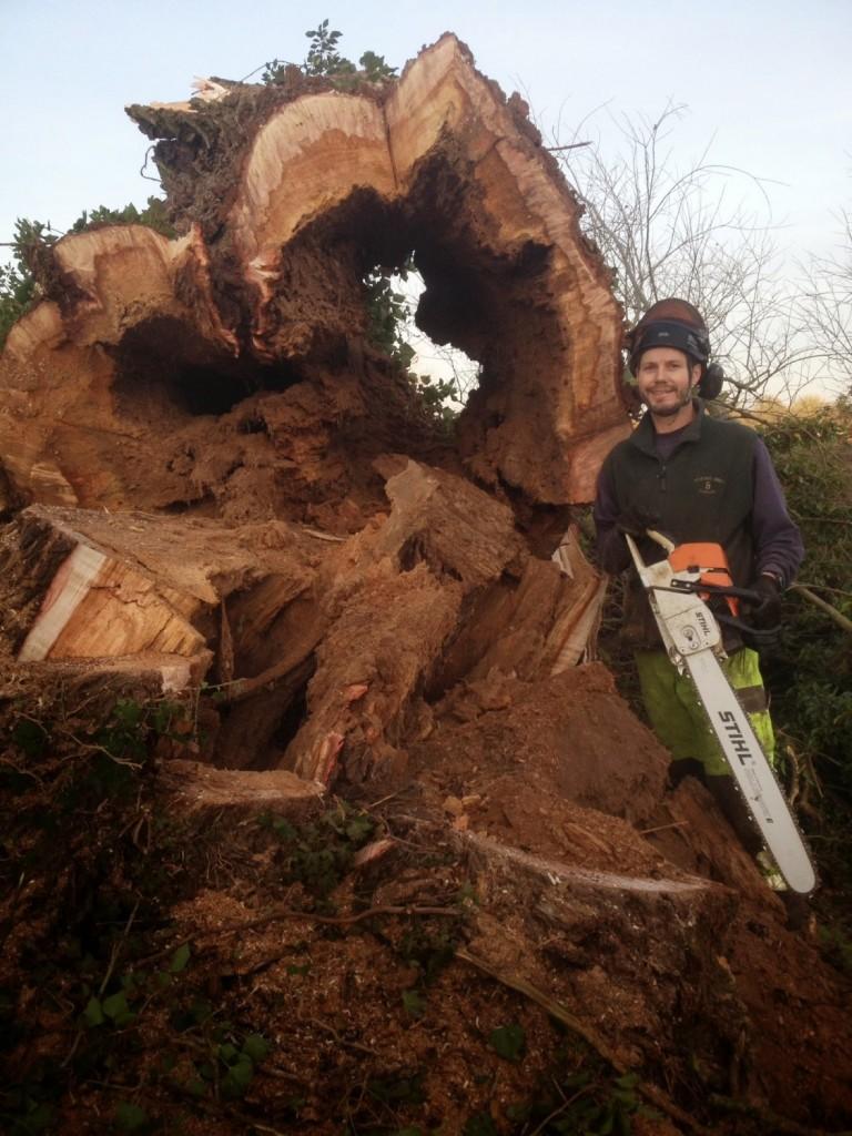 Felling Willow Tree